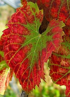 Vine leaves in autumn   Photo: Wildfeuer / commons.wikimedia.org   Permission: CC BY 2.5 http://creativecommons.org/licenses/by/2.5/deed.en