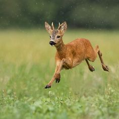 Young roe deer, capreolus capreolus, buck running fast in the summer rain. Dynamic image of wild animal jumping in the air between water drops. Wildlife scenery from nature in summer. Subscription-free stock image available for license. Deer Photography, Wild Animals Photography, Wild Animals Pictures, Animal Pictures, Deer Jumping, Cute Ducklings, Wild Deer, Deer Photos, Roe Deer
