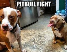 Pit bull fight! The only kind there should ever be.