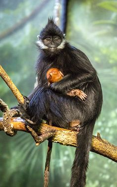 Have you seen the baby Francois' langur at the Helen Brach Primate House yet? Our #PhotoOfTheWeek offers another look at mom Pumpkin holding her vibrant new arrival.