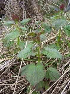 Nettles Nature's Superfood: a great source of iron, calcium, magnesium, potassium, vitamin C, and many trace minerals. A 100 gms of cooked nettles provide 2900mg of Calcium and 41mg of Iron. They provide habitat for others in our ecosystems especially some endangered butterflies...