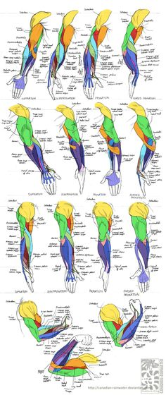 Anatomy - Human Arm Muscles by *Canadian-Rainwater on deviantART