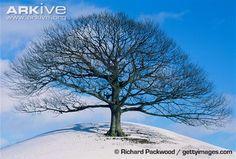 Sessile oak tree in winter