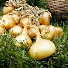 """Almost everyone loves onions. And when you grow them yourself, you get the most tender, sweet ones possible. The sweetest onions don't last long in storage, but because of their mild flavor they're great raw in salads or as a topper for grilled or cooked dishes. Storage onions are more pungent but develop a sweeter flavor when cooked.  Green onions, also called scallions or spring onions, are just immature bulbing onions that are harvested early. Leave them in the ground and they'll develop into regular onions.  Shallots are an onion relative with mild flavor and smaller bulbs. To ensure formation of large bulbs, plant shallots early in the season and grow the correct type for your area. Grow long-day types in the North and short-day types in the South, or plant intermediate-day types anywhere. Start onions from seed, transplants, or """"sets"""" -- bundles of tiny immature onions.  Light:SunPlant Type:VegetablePlant Height:4-24 inches tallPlant Width:1-5 inches wide"""