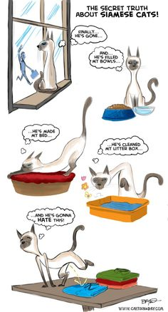 This is just so true! Nothing so contrary as a Siamese cat!