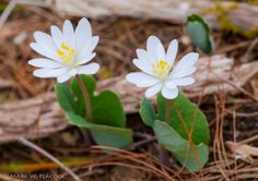 Bloodroot is among the first spring wildflowers to appear in the Appalachian Mountains. Bloodroot was used historically by Native Americans for curative properties as an emetic, respiratory aid, and other treatments.