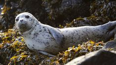 FILE - In this Oct. file photo, a harbor seal pup rests on seaweed-covered rocks after coming in on the high tide in the West Seattle neighborhood . Seal Pup, Baby Seal, Zoo Animals, Cute Animals, Washington Beaches, Cute Seals, Harbor Seal, Elephant Seal, Ocean Life
