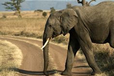 Travel to Africa, see elephants in the wild.(Time to Stop - Dave Schreier)