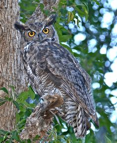 500px / What are you looking at? by Rich Lewis; Great Horned Owl starting its evening hunt.