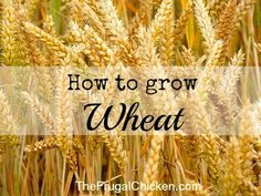 Growing wheat is so easy, and you can grow enough for a family of 4 in a surprisingly small space. Increase your self-sufficiency with this guide. From FrugalChicken