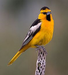 Bullock's Oriole. We have one that keeps visiting our hummingbird feeder