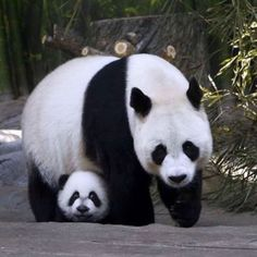 Giant panda triplet cubs reunited with mum Ju Xiao in China, in pictures Giant panda triplet cubs reunited with mum Ju Xiao at Chimelong Wildlife Park Panda Bebe, Cute Panda, Big Panda, Cute Baby Animals, Animals And Pets, Funny Animals, Wild Animals, Photo Panda, Baby Panda Bears