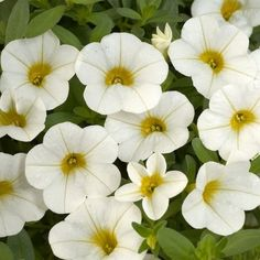 Multicolor Calibrachoa Kabloom Flower Seeds