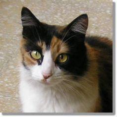 Beautiful Calico  #cats