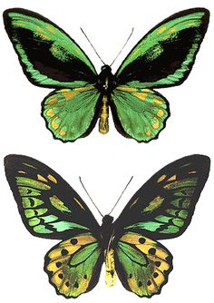 """ORNITHOPTERA PRIAMUS EUPHORION KOGANE - An aberration. This specimen was reared from the same mating that produced the """"Golden Birdwings"""" You will notice the heavy yellow streaks on the fore wings, as well as the very large gold spots on the hind wings. The underside also shows very heavy gold tinting on the hind wings. Only a couple of individual specimens were produced of this unique butterfly. It was sold a few years ago by The Insect Company, to a German collector."""