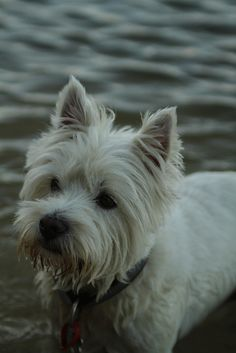 Westie. Reminds me of a dear brother and sister from the WI. Rapids cong. Pat loved his lil dog.