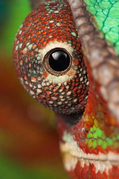 'I see you' by Magnus Forsberg. Panther Cameleon - love this - Evolution Reptiles, Oxford. Les Reptiles, Reptiles And Amphibians, Mammals, Beautiful Creatures, Animals Beautiful, Cute Animals, Cameleon Art, Animal Photography, Nature Photography