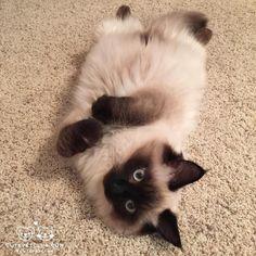 """From @Ragdollmocha: """"Dis is my Caturday!"""" #cutepetclub by: @cutepetclub"""