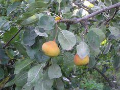 x Sorbopyrus auricularis fruits