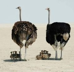 Did you know: The ostrich only blinks once per minute! Ostrich parents (female is grey-brown, male is black) sheltering their flock of young from the intense heat of the sun. Animals And Pets, Baby Animals, Funny Animals, Cute Animals, Wild Animals, Beautiful Birds, Animals Beautiful, Tier Fotos, Mundo Animal