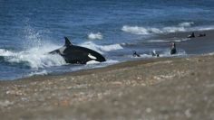 Orca beach attack in Peninsula Valdes, Argentina