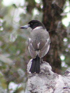 ハイイロモズガラス  Grey Butcherbird (Cracticus torquatus)