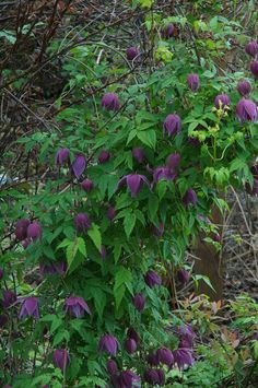 Esprit' is an Friends of The Rogerson Clematis Collection (FRCC) introduction. Once it starts it blooms all summer!