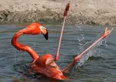 A flamingo loses its balance and falls over whilst trying to stand on one leg in its pool at Moscow Zoo. (Photo: Caters)