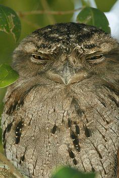 Tawny Frogmouth--so sleepy