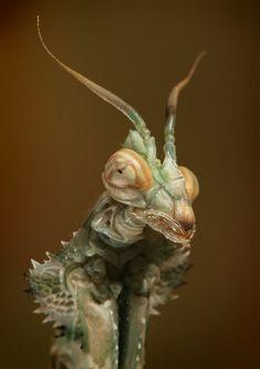 Idolmantis diabolica - devil mantis