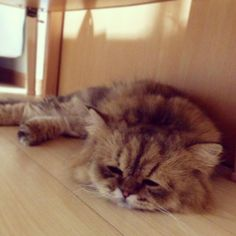 Foo-Chan | Twitter】 ものすごく気だるそうな猫が可愛すぎる ...