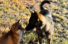 Sniffer and Tinni the domestic dog are the real life fox and hound, their touching relationship proving that friendship can survive despite background and social pressure, or in the case of these two, natural instincts. Cute Animal Videos, Cute Animal Pictures, Dog Best Friend, Best Friends, Dog Friends, Cute Baby Animals, Animals And Pets, Unlikely Friends, Fox Dog