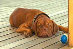 Bordeauxdog | Rassen | Hondenrassen.nl