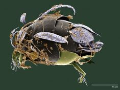 A mite of the genus Daidatarsonemus recently found in a coco plantation in Brazil. Feather-like seti on its body allow it to ride breezes from tree to tree in the forest canopy. It grows brown fungi on its body for food. (Photo courtesy Chris Pooley / Electron & Confocal Microscopy Unit USDA-ARS  USDA/ARS)