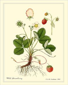 Wild Strawberry by C.A.M. Lindman, 1901.   https://www.etsy.com/listing/187515216/wild-strawberry-high-resolution?ref=unav_listing-other