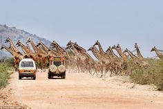 Thirty of the animals casually strolled across the road in Africa after they were seen gra...