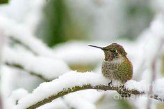 Snowy Hummingbird