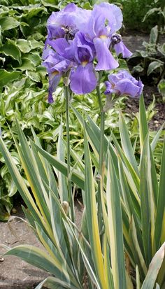 Iris pallida 'Variegata' - Winter dormant bulb, used more for the foliage than flowers. Sun part shade.