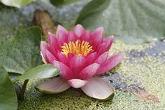 Lilia wodna - ozdoba oczka wodnego. Plants, Plant, Planets