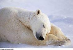 dreaming polar bear by Michio Hoshino