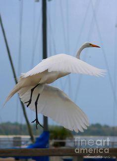 Beautiful Egret in Flight by Debra Forand #faabest