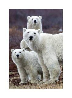 Giclee Print: Churchill Polar Bears by Art Wolfe : 22x16in