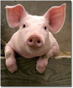 Piglets are adorable - curious pig by kerrylyn