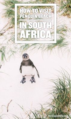 How To Visit Penguin Beach In South Africa Hand Luggage - Boulders Beach Is One Of The Loveliest Places To Experience When Visiting South Africa Not Just Because Of The Cutest Little Penguins But The Amazing How To Visit Penguin Beach In South Africa Tr # Visit South Africa, Cape Town South Africa, South Africa Honeymoon, Durban South Africa, Boulder Beach, Road Trip, African Safari, Africa Travel, Beach Trip