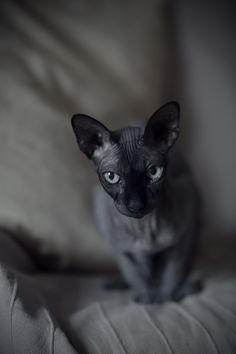 Sphynx - Really wish they weren't hairless. Makes 'em creepy looking too.