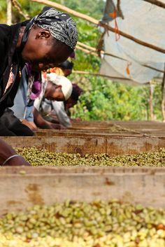 Kaffa, Ethiopia, sorting coffee