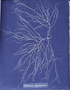Stunning Cyanotypes of Sea Algae by the Self-Taught Victorian Botanist Anna Atkins, the First Woman Photographer and a Pioneer of Scientific Illustration Atkins, Sun Prints, Fine Art Prints, John Herschel, Cyanotype Process, Motifs Textiles, Image Theme, Historia Natural, Anna