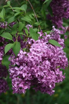 spring blooming lilacs that perfume the air brings back memories of ole