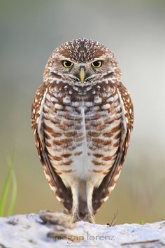 """Peeved "" by Megan Lorenz  Burrowing Owl.  Cape Coral, Florida"