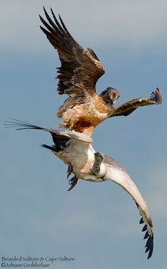 Lammergeier vs. Cape Vulture Gypaetus barbatus (Bearded vulture, Lammergeier)